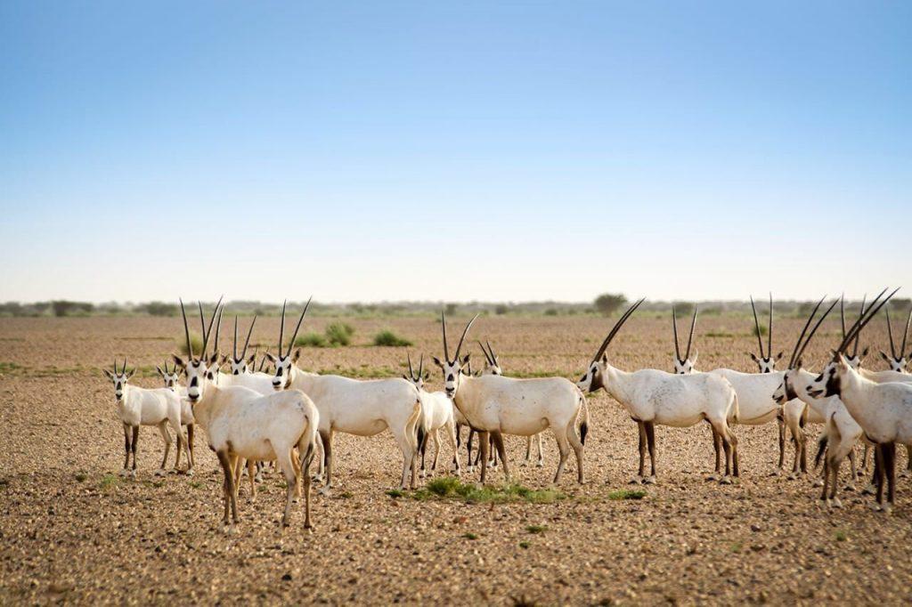 السعودية تشغل أربعة أخماس الجزيرة العربية..المحميات الملكية تعيد أنماط الحياة البيئية إلى طبيعتها